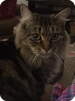 Maine Coon Cats Massachusetts Rescue