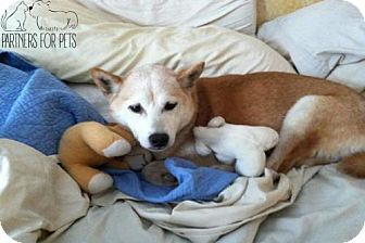 Shiba Inu Dog for adoption in Troy, Illinois - Sugar FOSTERED (Leigh)
