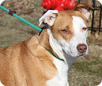 Hound (Unknown Type) Mix Dog for adoption in Marietta, Ohio - Josie (Spayed)