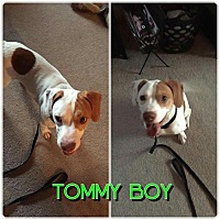 Adopt A Pet :: Tommy Boy - Garden City, MI