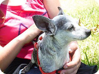 Chihuahua Mix Dog for adoption in Malabar, Florida - Zorro