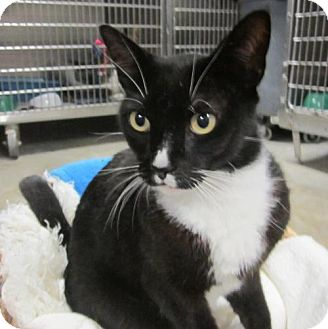 Domestic Shorthair Cat for adoption in Cocoa, Florida - Lucas (Cocoa Center)