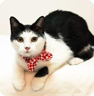 Domestic Shorthair Cat for adoption in Richardson, Texas - Trevor