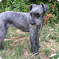 Adopt A Pet :: Alice - Tumwater, WA