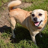 Chihuahua Mix Dog for adoption in Little Elm, Texas - Freda