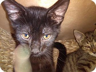 Domestic Shorthair Kitten for adoption in Owenboro, Kentucky - PANSY