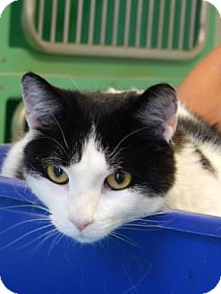 Domestic Shorthair Cat for adoption in The Dalles, Oregon - Typsy