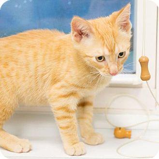 Domestic Shorthair Kitten for adoption in St. Paul, Minnesota - Apollo