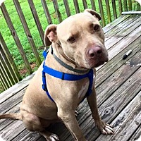 Pit Bull Terrier/Labrador Retriever Mix Dog for adoption in Jacksonville, North Carolina - Bonez