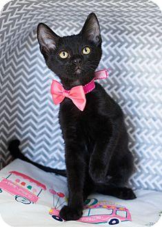Domestic Shorthair Kitten for adoption in Montclair, California - Licorice