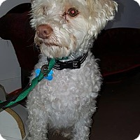 Poodle (Miniature) Mix Dog for adoption in Valencia, California - Sonny