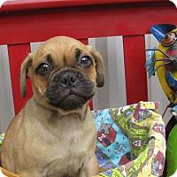 Adopt A Pet :: Gadget - Groton, MA