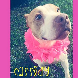 American Pit Bull Terrier Mix Dog for adoption in Fayetteville, North Carolina - Cassidy