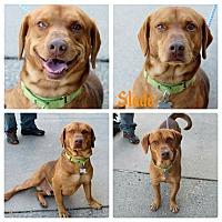 Adopt A Pet :: Slade - Garden City, MI
