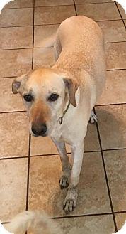 Labrador Retriever Mix Dog for adoption in Von Ormy, Texas - Callie(CPR)
