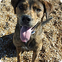 Labrador Retriever/Hound (Unknown Type) Mix Dog for adoption in St.Ann, Missouri - Bruce