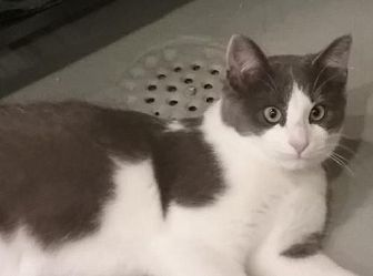 Domestic Shorthair Cat for adoption in Amelia, Ohio - Axel