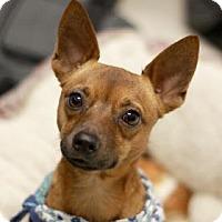 Miniature Pinscher Mix Dog for adoption in Kyle, Texas - PETRIE