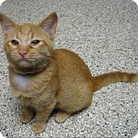 Adopt A Pet :: Tom - Georgetown, TX