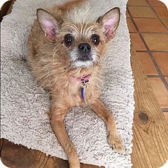 Terrier (Unknown Type, Small)/Chihuahua Mix Dog for adoption in LA, California - Gigi