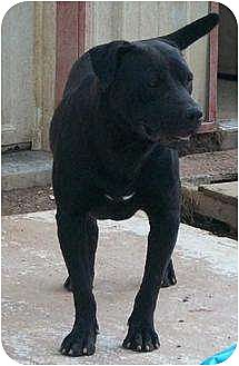 Labrador Retriever/Pit Bull Terrier Mix Dog for adoption in Poland, Indiana - Angus