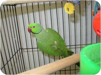 Ringneck for adoption in Mantua, Ohio - PACO