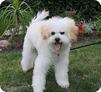 maltese toy poodle mix garth adopted puppy newport beach ca maltese poodle 1065