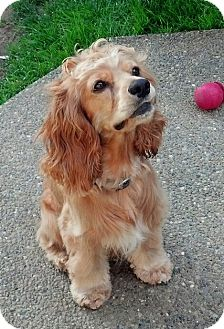 Cocker Spaniel Dog for adoption in Snohomish, Washington - Jack