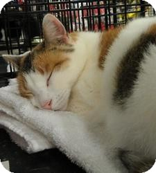 Calico Cat for adoption in Berkeley Hts, New Jersey - Cassidy