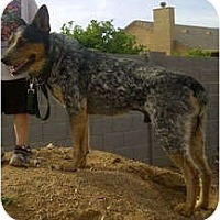 Adopt A Pet :: Jasper - adoption pending - Phoenix, AZ