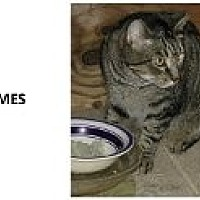 Domestic Shorthair Cat for adoption in Naples, Florida - Holmes