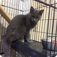 Adopt A Pet :: Ghost - Portland, ME