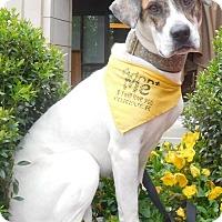 Adopt A Pet :: Lady - Rockville, MD