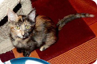 Domestic Shorthair Cat for adoption in Los Angeles, California - Gypsy