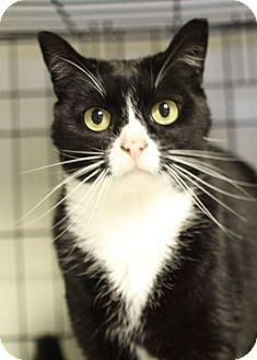 Domestic Shorthair Cat for adoption in Winston-Salem, North Carolina - BB