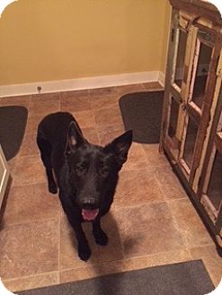 German Shepherd Dog Mix Dog for adoption in Houston, Texas - Licorice