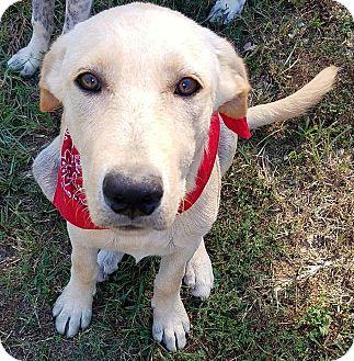 Labrador Retriever Mix Dog for adoption in Brattleboro, Vermont - DJ DOB 4/01/16!