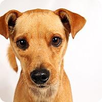 Adopt A Pet :: Rusty TerrChi - St. Louis, MO