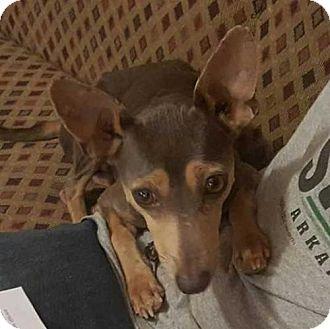 Miniature Pinscher Mix Dog for adoption in Boston, Massachusetts - Helen Gillis