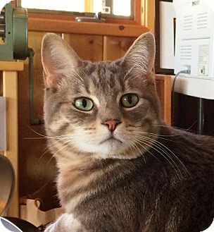 Domestic Shorthair Cat for adoption in Idyllwild, California - Princess Leia
