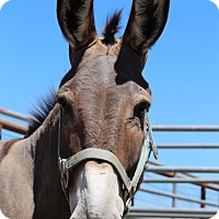 Donkey/Mule/Burro/Hinny Mix for adoption in Oakdale, California - Eli