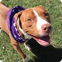 Pit Bull Terrier Mix Dog for adoption in Greensboro, North Carolina - Mooch