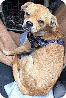 Pug Dog for adoption in Gardena, California - Adelaide