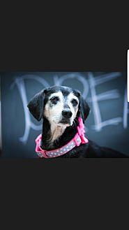 Dachshund/Beagle Mix Dog for adoption in Decatur, Georgia - Bianchi