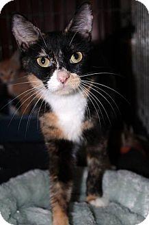 Calico Cat for adoption in Orlando, Florida - Nugget (SLK) 2.1.16