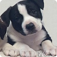Adopt A Pet :: Ziggy Fostered (Barb) - Troy, IL
