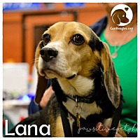 Adopt A Pet :: Lana - Chicago, IL