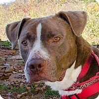 Boxer Mix Dog for adoption in Midlothian, Virginia - Mr. Pink