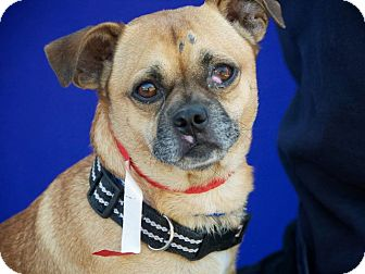 Pug Mix Dog for adoption in Anaheim, California - Quinn
