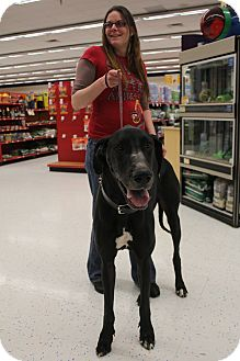 Great Dane Dog for adoption in Grand Rapids, Michigan - Sampson